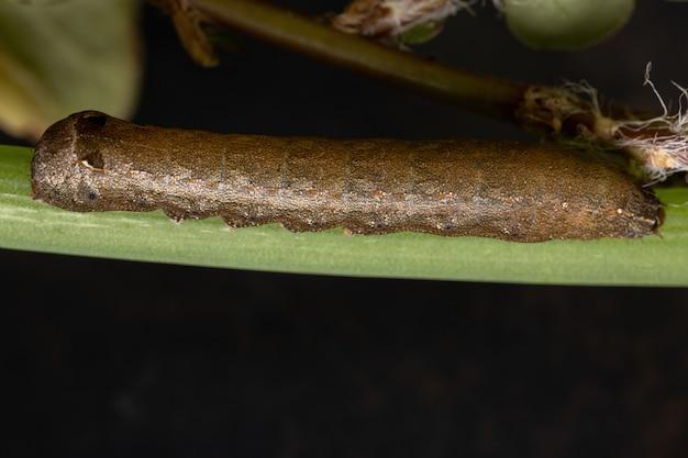 Caterpillar of the genus spodoptera eating a chives leaf of the species allium schoenoprasum