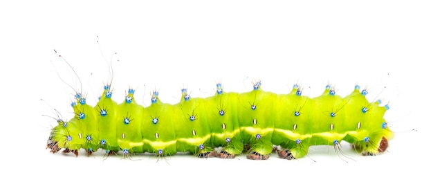 Caterpillar of the giant peacock moth, saturnia pyri, against white space