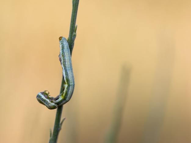 Гусеница в естественной среде