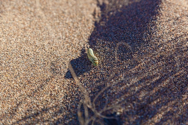 The caterpillar of the machaon crawls along the sand