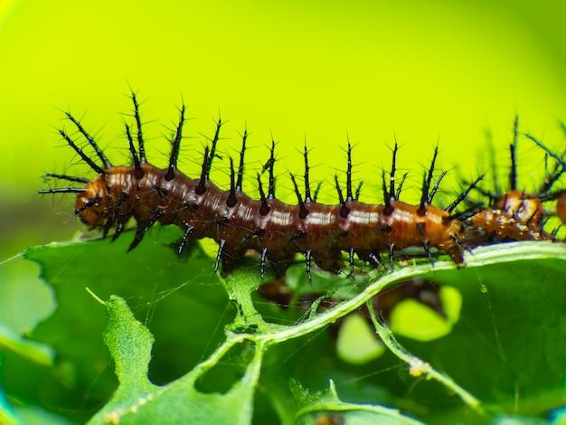 Caterpillar moving (gulf fritillary) на страстной лозе азии.