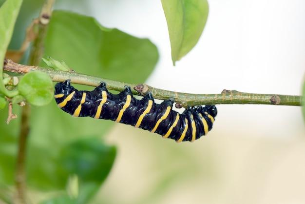 Гусеница манаки питается листьями