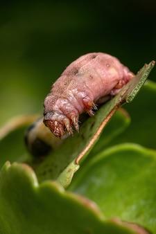 Гусеница рода spodoptera сильно пострадала