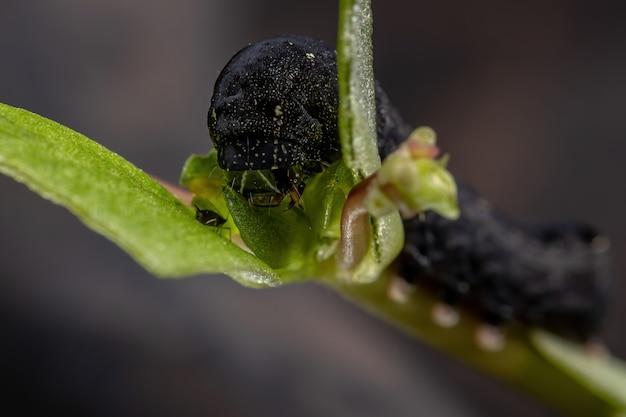 Гусеница вида spodoptera cosmioides, поедающая портулак обыкновенный вида portulaca oleracea