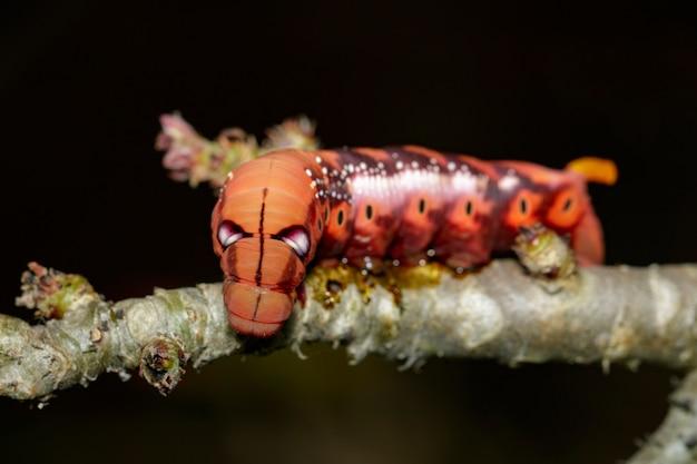 木の枝にキャタピラーオレアンダーホーク蛾