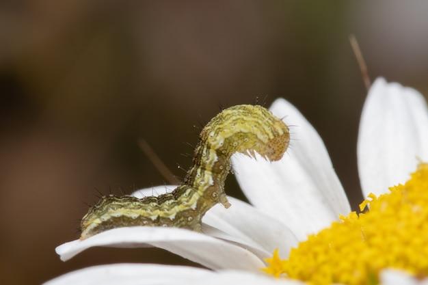 숲에서 데이지 꽃에 애벌레