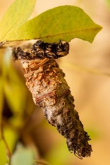 Гусеница на коконе ест лист дерева