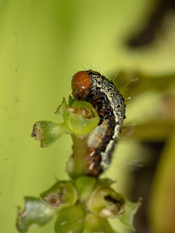 Caterpillar of the order lepidoptera eating a common purslane plant of the species portulaca oleracea