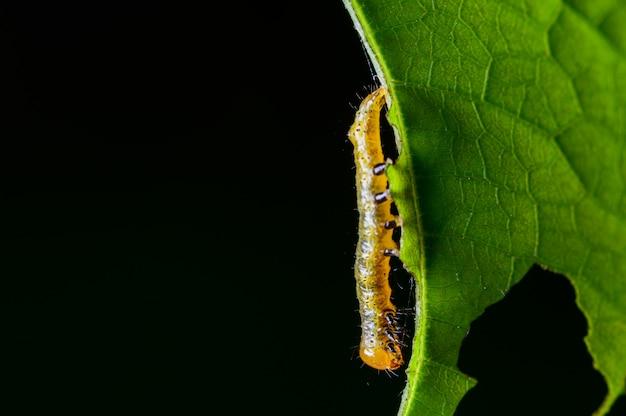 잎에 애벌레 해충