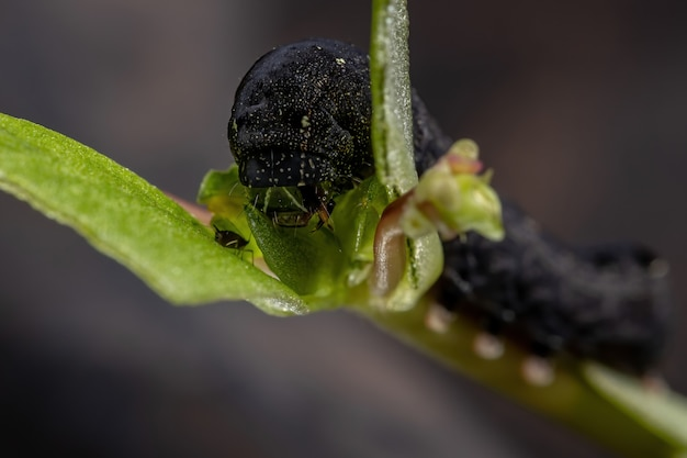 Caterpillar of the species spodoptera cosmioides eating the common purslane plant of the species portulaca oleracea