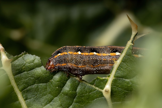 Caterpillar of the species spodoptera cosmioides eating a leaf from a plant of the genus solanum
