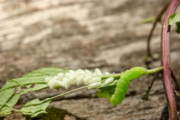 Гусеница с яйцами на листе
