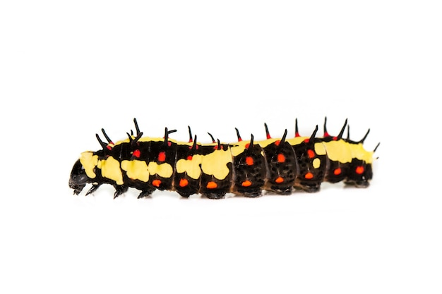 Caterpillars of common mime isolated. animal. insect.