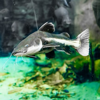 Сом в аквариуме