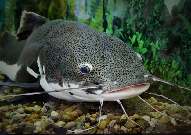 Catfish in the ocean aquarium. fish from ocean in the aquarium. red-tailed catfish in an aquarium with a wound on the lip, catfish caught.