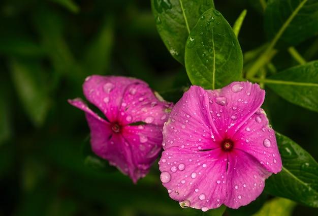 일반적으로 마다가스카르 대수리 또는 장미 대수리로 알려진 catharanthus roseus 꽃.