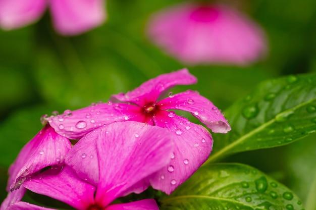 일반적으로 마다가스카르 대 수리로 알려진 catharanthus roseus 꽃