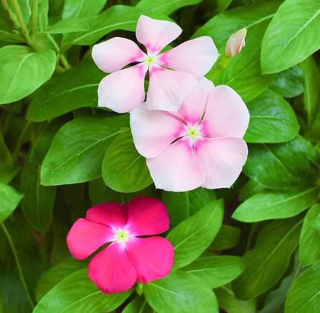 Catharanthus roseus или цветок барвинка, розовый и фиолетовый цветок барвинка в саду