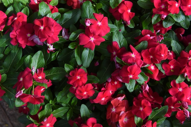 Catharanthus roseus or west indian periwinkle flowers and green leaves on nature background.
