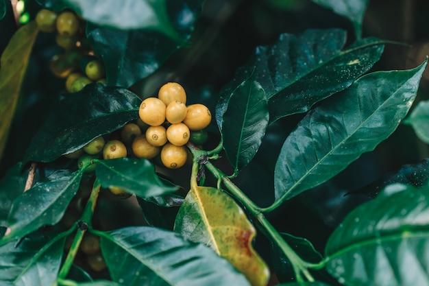 Желтый catimor кофе в зернах созревания на дереве в северной части таиланда