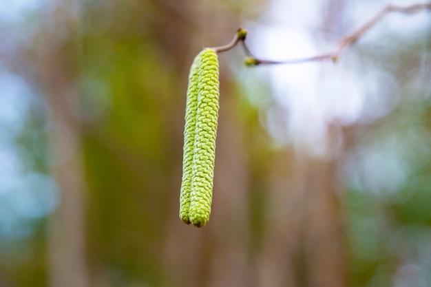 일반적인 개암나무, corylus avellana, 새로운 삶을 시작하는 개념, 이른 봄