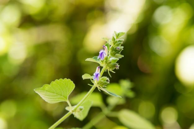 自然の背景にイヌハッカの花と緑の葉