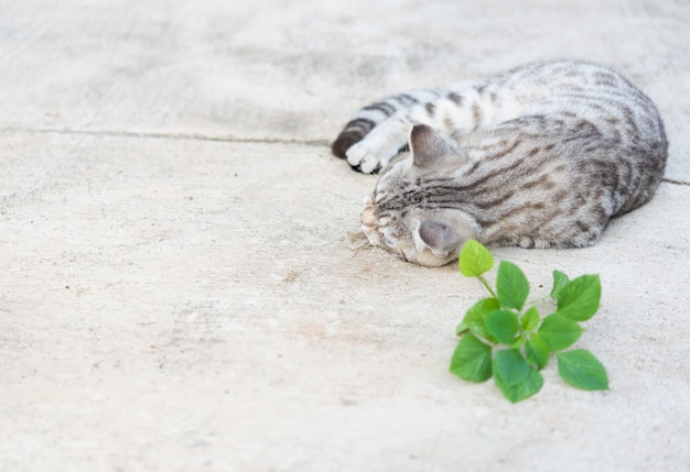 Catnip herb for cat has a scent like pheromone