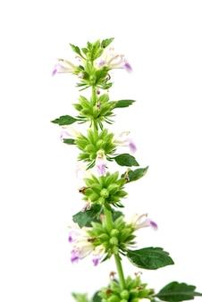 キャットニップまたはネペタカタリアの花と緑の葉が白い背景で隔離。