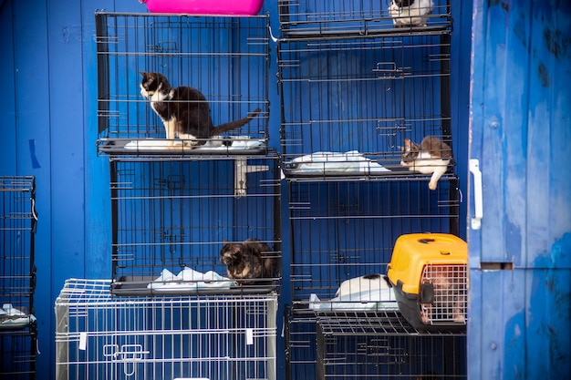 Cats are sitting in cages on the background of a blue fence. animal cruelty, veterinary clinic, animal shelter