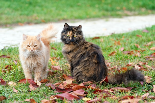 Cats in autumn park. tortoiseshell and red cats in love walking on colorful fallen leaves outdoor.