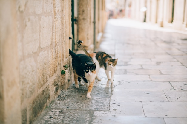 Cats in the old town of budva kotor dubrovnik croatia and mon
