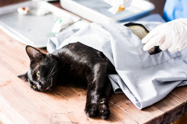 Cats surgery under anesthesia in sterilization and surgery sterilization.