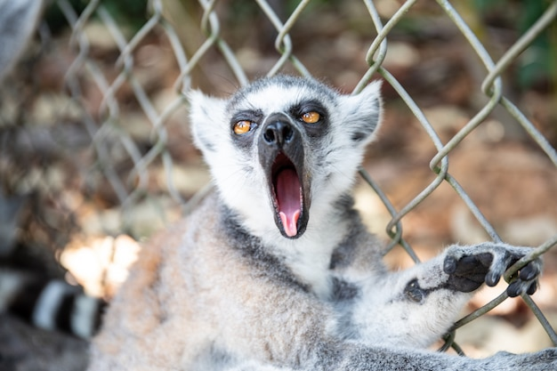 Зевающий кольчатохвостый лемур в зоопарке. конец catta лемура вверх по портрету.