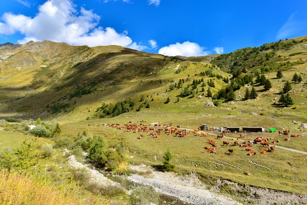 Cattle of brown cows in alpine valley