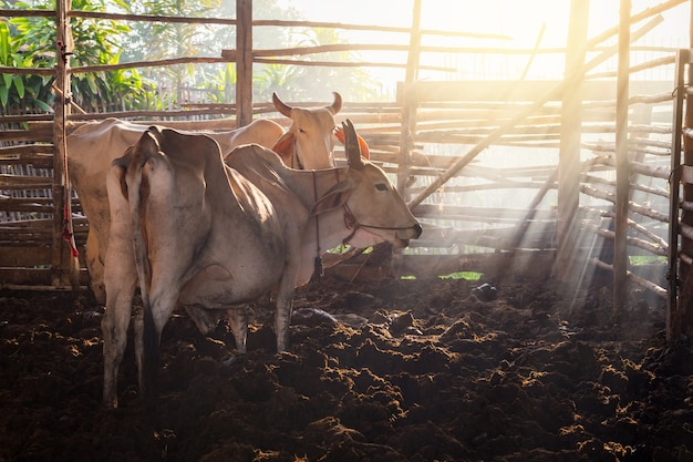 Cattle in cowshed with beautiful sunset scene.cattle in the stable