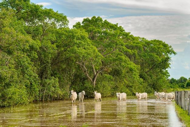 2007年11月25日にブラジルのポコネーマットグロッソ州の洪水地域を横断する牛