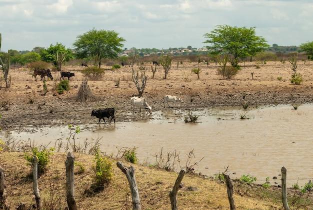 ボケイランパライバブラジルのカリリ地域の水たまりからの牛の飲料水