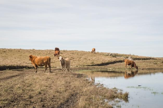 農場の湖の牛の飲料水