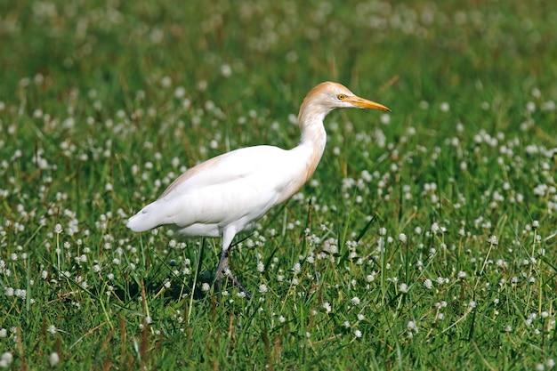 Cattle egret bubulcus ibis beautiful birds of thailand