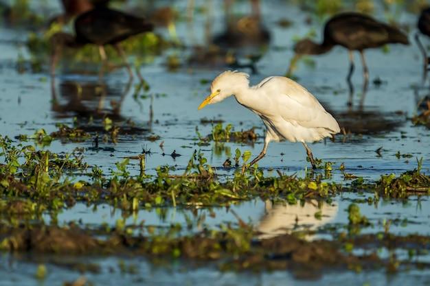Cattle egret (bubulcus ibis) at sunrise in a rice field in albufera of valencia natural park, valencia, spain.
