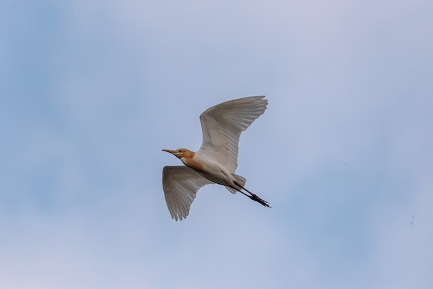 A cattle egret flying in the air