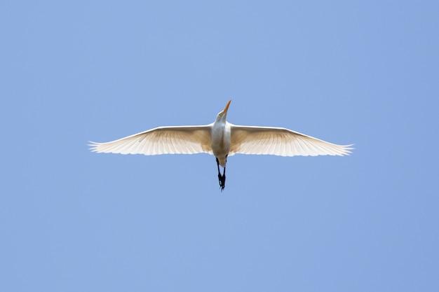 空を飛んでいるアマサギ。鳥、野生動物。