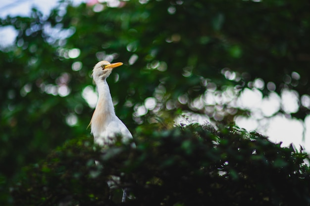 Cattle egret with a long yellow beak on a tree branch with a blurry background and bokeh effect