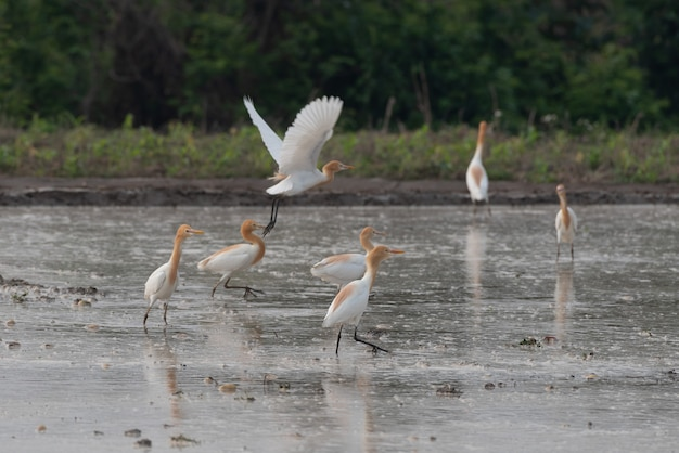 Cattle egrets stay in the fields for food, rest and fly