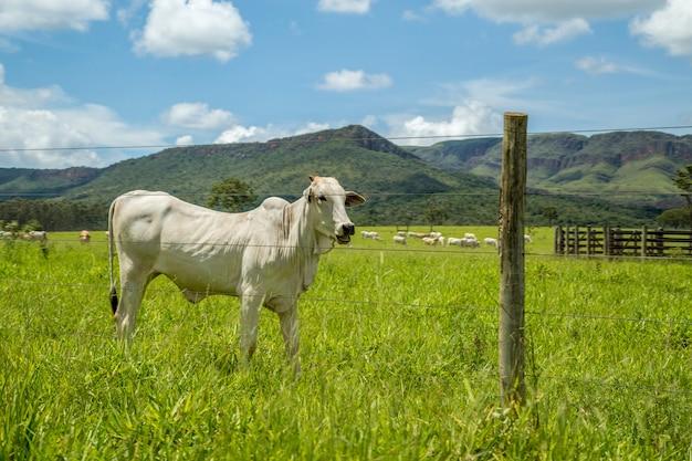 Cattle farm montain pecuaria brazil