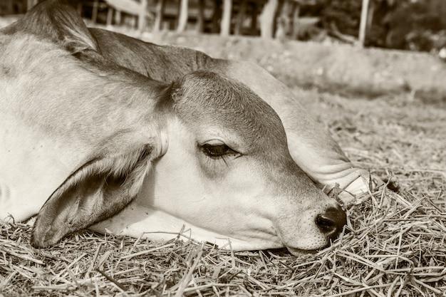 農業のための農村地域での牛の飼養。