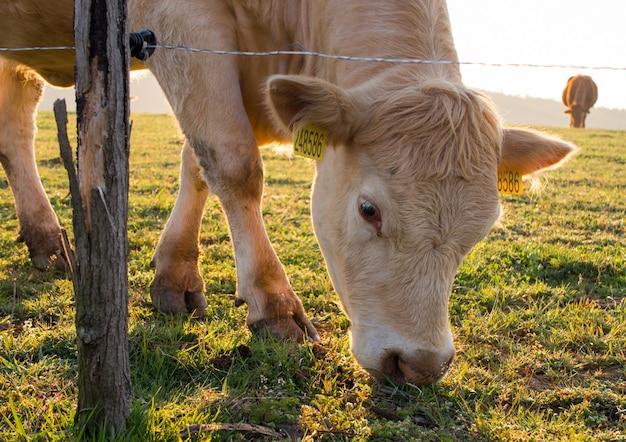 Крупный рогатый скот, пасущийся за электрическим забором на рассвете