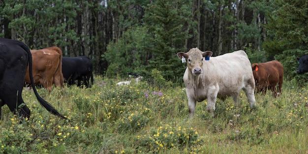 Cattle grazing in a field, babb, glacier national park, glacier county, montana, usa