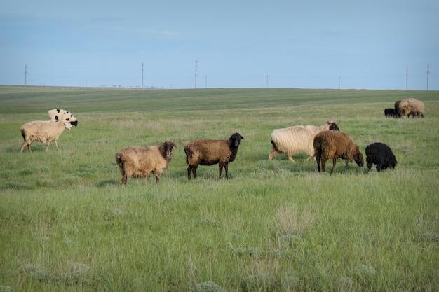 牧草地で放牧している牛。ペット:羊