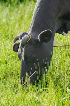 牧草地での牛の放牧芝生農業の概念での黒牛の放牧